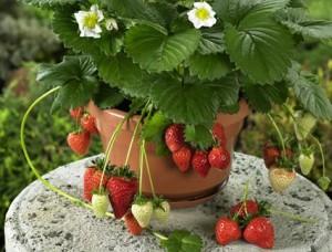 jahůdky a rajčátka