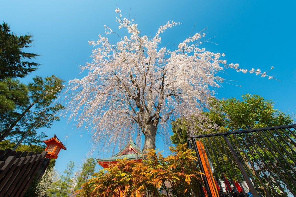 Sakura na zahradě: estetický prvek, na který se nebudete moci vynadívat!
