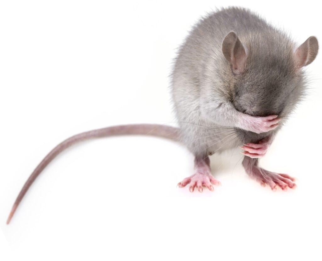 Deratizace není jen o hubení potkanů: Co pro vás odborníci můžou udělat?